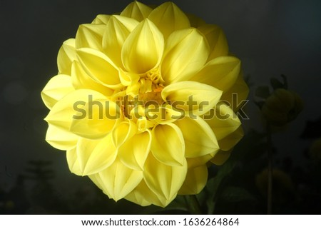 close up macro photography orange yellow dahlias flowers bloom blossom high resolution detail isolated in black top beauty and easiest flowers for home gardening