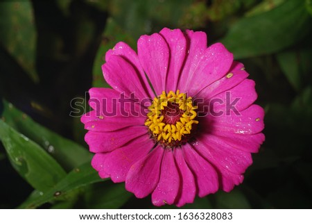 macro closeup photography best top large california giant zinnia flowers bloom blossom multi color isolated in black high resolution detail