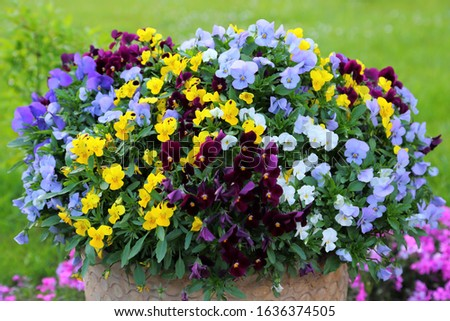 Colorful pansies in a ceramic pot. Spring flowers.