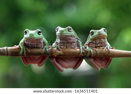 Three Australian white tree frog on leaves, dumpy frog on branch, animal closeup, amphibian closeup #1636511401