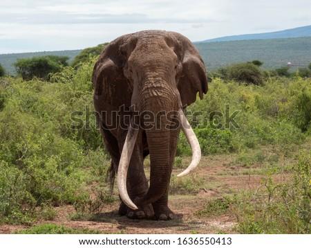 Big Tim recently deceased super tusker elephant #1636550413