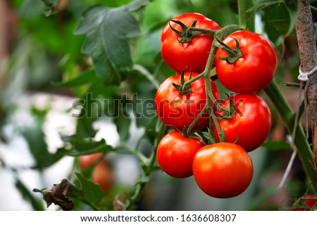 Ripe red organic tomato in greenhouse. Beautiful heirloom tomatoes Royalty-Free Stock Photo #1636608307