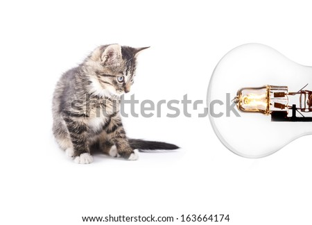 gray striped kitten looking on bulb. isolated on white background #163664174