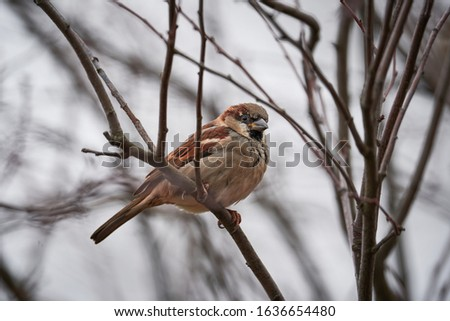 Close up picture of male house sparrow, Passer domesticus, a bird of the sparrow family Passeridae, found in most parts of the world, sitting on the stick of the bush during the cold winter day.