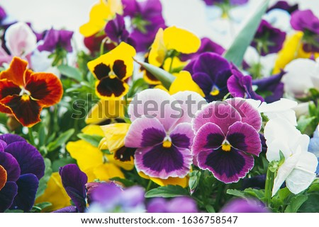 mixed pansies in gardcolorful and bright flowers pansies in the spring gardenen. Selective focus macro shot with shallow DOF