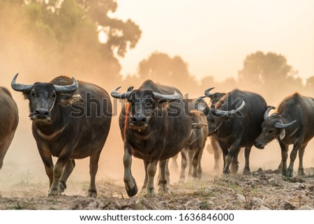 A picture of a buffalo buffalo entering the stall