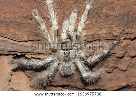 Indian Violet Tarantula (Chilobatrachus fimbriatus) Location: Matheran