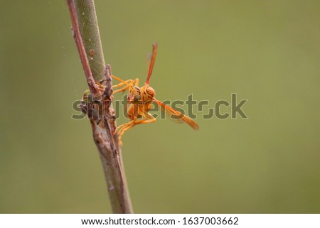 Yellow wasp and hornet are some of the deadliest insects in south Asia. The common close up of wasp, red paper wasp, yellow potter wasp, black spider wasps are loaded with harmful sting like the bees. #1637003662