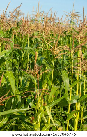 corn a North American cereal plant that yields large grains, or kernels, set in rows on a cob. Its many varieties yield numerous products, highly valued for both human and livestock consumption #1637045776