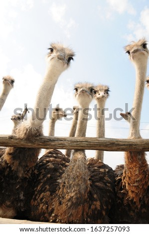 Breeding of ostriches on an ostrich farm in the Dnipropetrovsk region (Ukraine) #1637257093