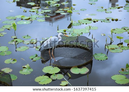 A bird at a pond with lotus leaf #1637397415