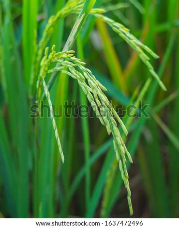 Rice plants that are currently seeding. #1637472496