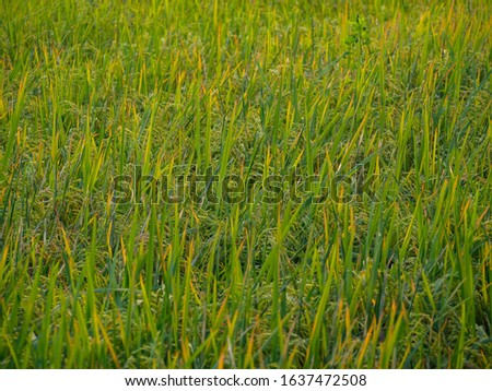 Rice fields that are currently seeding. #1637472508