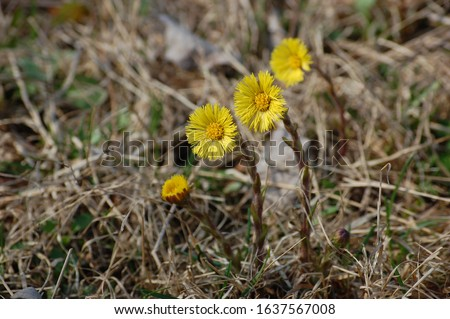 Blooming in early spring bush coltsfoot. Beautiful yellow coltsfoot flower. Tussilago farfara (Coltsfoot)