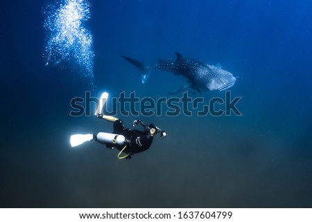 Undersea environment scene of Whale Shark diver swimming with remora fishes in tropical ocean. Rhincodon typus is a slow moving filter feeding carpet shark, and is the largest fish species in the sea.