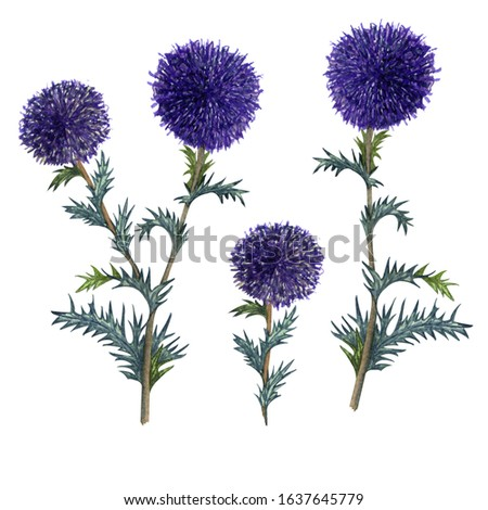 Watercolor blue globe thistle set isolated on white background. Hand drawn herbal clip art. Honey herb.