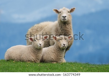Sheep Family Livestock on a Farm with Young Lambs, New Zealand