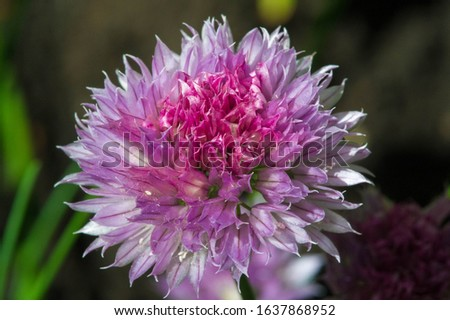 Chives, scientific name Allium schoenoprasum, A perennial plant, it is widespread in nature across much of Europe, Asia, and North America. The plant provides a great deal of nectar for pollinators. #1637868952