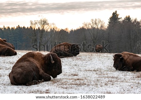 A herd of bison wakes up to a new day. Buffalo in the morning. The coloured fur of the animals and the light snow dusting mark the coming of winter.
