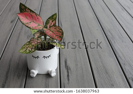 A green leafy plant called Aglaonema, also called 'Chinese evergreens' in a white cute pot.  Royalty-Free Stock Photo #1638037963