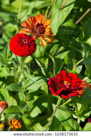 Zinnias are annual plants, shrubs and sub-shrubs growing mainly in North America, Zinnias can be white, greenish yellow, yellow, orange, red, purple or lilac. #1638173635
