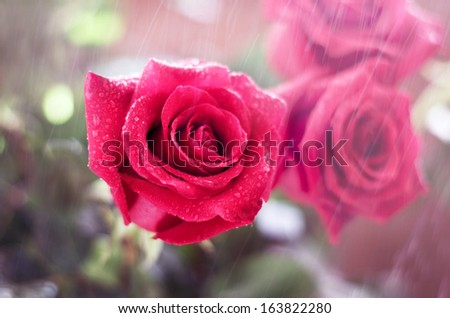 Beautiful red roses in a garden in the rain #163822280