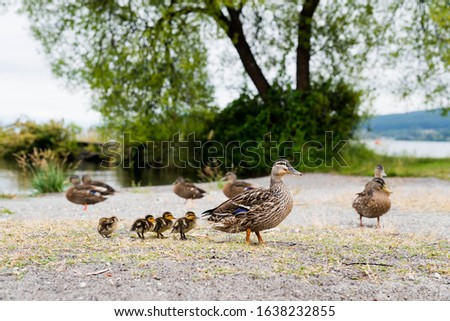 a picture of mallard ducks and her ducklings