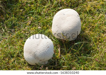 Two Mosaic Puffball mushrooms (Lycoperdon utriforme) growing in moss and short grass in Norfolk. #1638310240