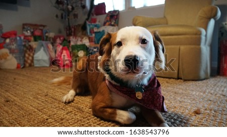 A picture of a labrador and border collie mix relaxing on a rug by the christmas gifts