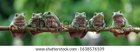 Australian white tree frog sitting on branch, dumpy frog on branch, animal closeup, amphibian closeup Royalty-Free Stock Photo #1638576109