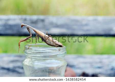 Insect Mantis in the wild. Female European  Praying Mantis, Mantis Religiosa, brown mantis.  #1638582454
