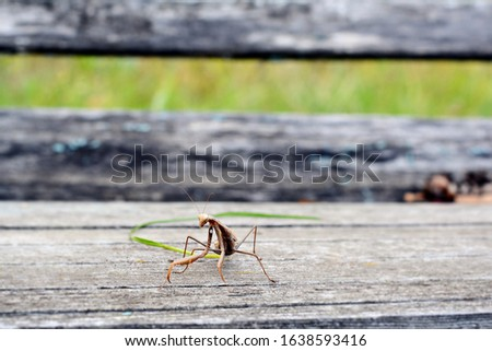 Insect Mantis in the wild. Female European  Praying Mantis, Mantis Religiosa, brown mantis.  #1638593416