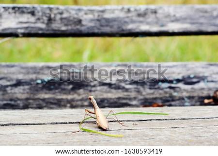 Insect Mantis in the wild. Female European  Praying Mantis, Mantis Religiosa, brown mantis.  #1638593419