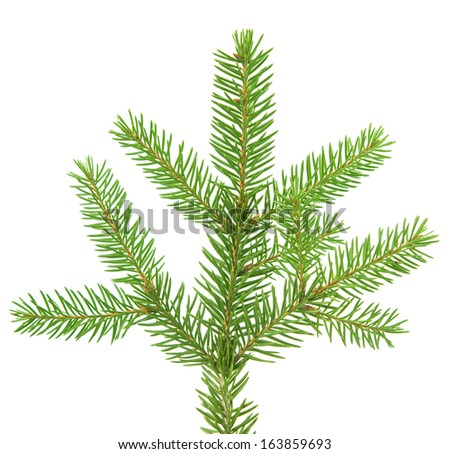 fir branch isolated on white background #163859693