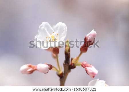 Cherry blossoms are blooming. Cherry blossoms are the symbol of spring in Japan. Spring in Japan is known for the blooming of cherry blossoms. #1638607321