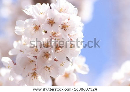 Cherry blossoms are blooming. Cherry blossoms are the symbol of spring in Japan. Spring in Japan is known for the blooming of cherry blossoms. #1638607324