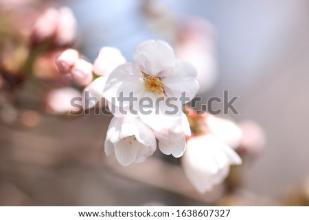 Cherry blossoms are blooming. Cherry blossoms are the symbol of spring in Japan. Spring in Japan is known for the blooming of cherry blossoms. #1638607327