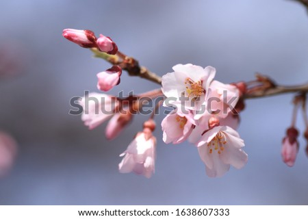 Cherry blossoms are blooming. Cherry blossoms are the symbol of spring in Japan. Spring in Japan is known for the blooming of cherry blossoms. #1638607333
