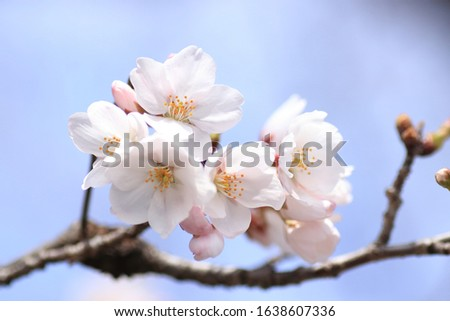 Cherry blossoms are blooming. Cherry blossoms are the symbol of spring in Japan. Spring in Japan is known for the blooming of cherry blossoms. #1638607336