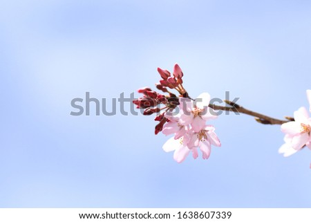 Cherry blossoms are blooming. Cherry blossoms are the symbol of spring in Japan. Spring in Japan is known for the blooming of cherry blossoms. #1638607339