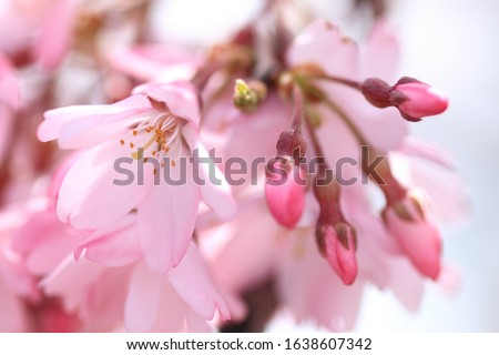 Cherry blossoms are blooming. Cherry blossoms are the symbol of spring in Japan. Spring in Japan is known for the blooming of cherry blossoms. #1638607342