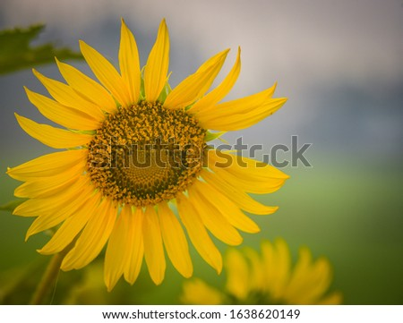 Sunflowers blooming with blurred backgrounds in the morning. The sunflower has pollen in the center and yellow petals around it, very beautiful, natural design.