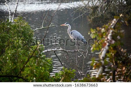 Grey heron in Kelsey Park, Beckenham, Greater London. A grey heron stands on a branch by the side of the lake. Kelsey Park, Beckenham, Kent is famous for its herons. Grey heron (Ardea cinerea), UK. #1638673663