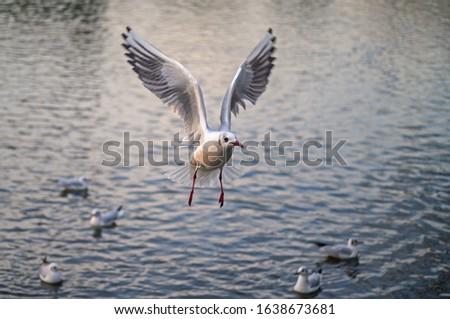 Black-headed gull in winter plumage in Kelsey Park, Beckenham, Greater London. A black-headed gull in flight above the lake in Kelsey Park, Beckenham, Kent. Black-headed gull (Larus ridibundus), UK. #1638673681