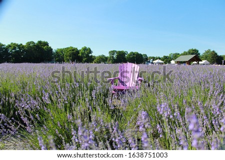 Lavender farm, Lavender by the bay Royalty-Free Stock Photo #1638751003