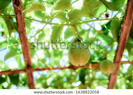 Green passion fruit that is not yet ripe on the vine When ripe, there are many colors according to species, purple, yellow very sour taste. Smells quite strong rich in vitamin c Popular as a beverage #1638822058