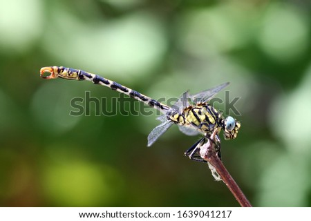 Onychogomphus forcipatus natural dragonfly macro #1639041217