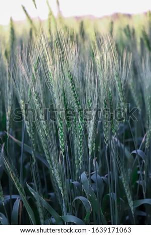 Green wheat,green wheat in the field.wheat sprouts on sunny day.organic green wheat in the field.green wheat field #1639171063
