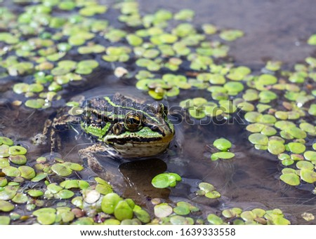 Amphibian in water with duckweed. Green frog in the pond. Rana esculenta. Macro photo. #1639333558