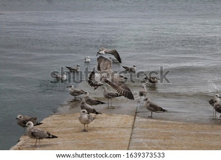 Larus seagull planning - pier and group of seagulls as background #1639373533